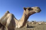 Верблюд наказал своего хозяина, оставив его без головы