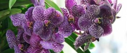 Клубни орхидеи будут лечить рак, — выяснили ученые Нижегородского университета