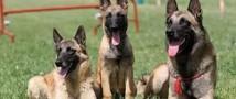 Собаки-клоны будут охранять порядок в Якутии