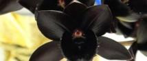 Орхидея под цвет вороньего крыла поражает воображение посетителей Ботанического сада МГУ