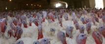 Египет готов принять продукцию птицеводства из РФ
