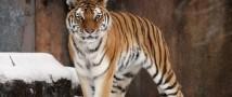В США усыпили тигра, доставленного летом из РФ