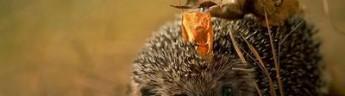 Ученые обеспокоены теплой погодой в ноябре, которая может стать роковой для ежей