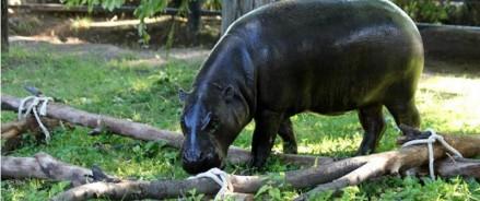 На экспозицию Московского зоопарка вернулся карликовый бегемот