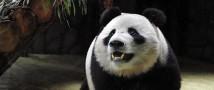 В гости к большим пандам: когда прийти в зоопарк, чтобы увидеть Жуи и Диндин