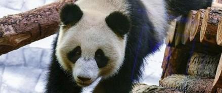 Московский зоопарк запустил прямую трансляцию из жизни панд
