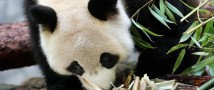 Панды Жуи и Диндин отметят дни рождения в Московском зоопарке
