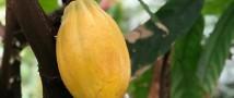 Урожай шоколада зреет в «Аптекарском огороде»