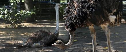 Африканское трио: в Московском зоопарке появилось три африканских страуса