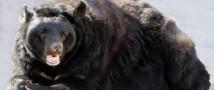 Быть зиме: в Московском зоопарке уснули три медведя