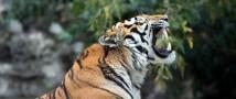Тигр Дизель из Московского зоопарка переехал в Омаху