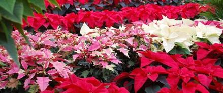 Японский сад с цветами и живые рождественские звезды представят 30 ноября в «Аптекарском огороде»