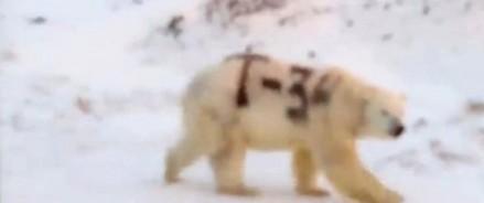 Белый медведь с надписью «Т-34» взбудоражил соцсети