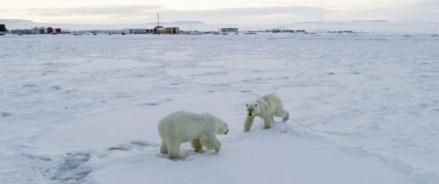 Нашествие голодных белых медведей на чукотский поселок
