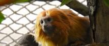 В Московском зоопарке впервые в истории поселились редчайшие тамарины