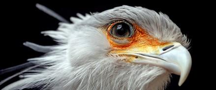 Для птицы-секретарь из Московского зоопарка подобрали пару