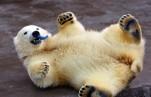 Московский зоопарк начинает фотоконкурс «Белый медведь в кадре»