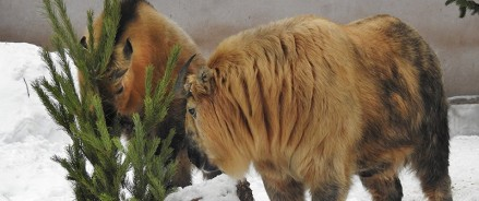 Московский зоопарк принимает новогодние елки