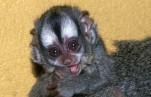 В Московском зоопарке родилась редкая боливийская мирикина
