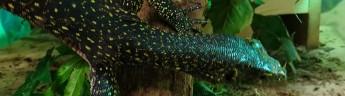 В Московском зоопарке появился синехвостый варан