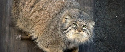 На экспозицию Московского зоопарка вернется манул