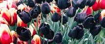314 тюльпанов подарят 8 марта первым гостям «Аптекарского огорода»