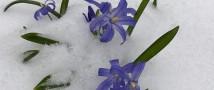 Первоцветы в «Аптекарском огороде» засыпало снегом