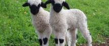 В Московском зоопарке родилась валлийская овечка