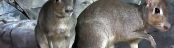 В зоопарке родились детеныши карликовой мары
