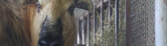 Московский зоопарк — у нас родился детеныш такина