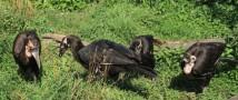 Птенец кафрского ворона — история спасения