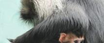 В Московском зоопарке родился детеныш редкого львинохвостого макака