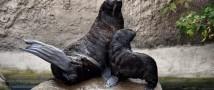 В Московском зоопарке родился детеныш северного морского котика