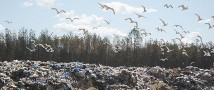 В Сосновоборске ликвидируют свалку у деревни Ракопежи