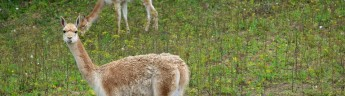 В Центре воспроизводства редких видов животных Московского зоопарка родился детеныш викуньи