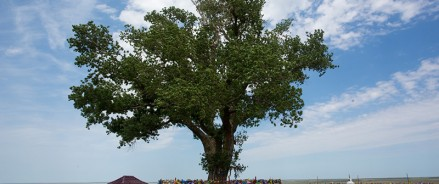 Конкурс «Российское дерево года — 2020» завершается