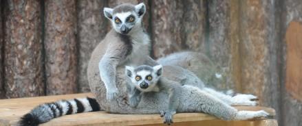 В Московском зоопарке родился детеныш кошачьего лемура