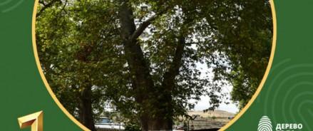 Древний платан — Победитель национального конкурса «Российское дерево года — 2020»