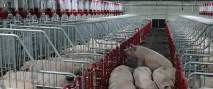 Свиноферму «Мерси Агро» в Аниве доведут до первоначального проекта