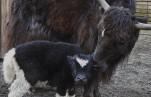 В Московском зоопарке родились детеныши яка