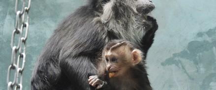 В Московском зоопарке родился малыш редкого львинохвостого макака