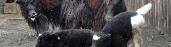 Амур и Нуар — мы выбрали имена для домашних яков