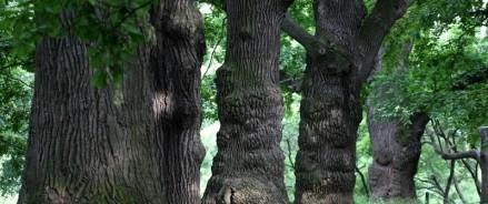 Проект «Наше дерево» приглашает взглянуть на самые старые деревья Москвы