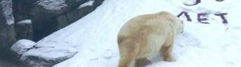 В Московском зоопарке отметили 30-летие белого медведя Врангеля