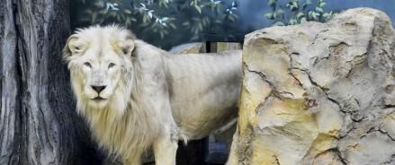 В казанском зоопарке поселились белые львы