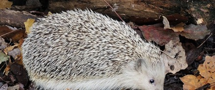В зоопарке белогрудые ёжики ушли в спячку
