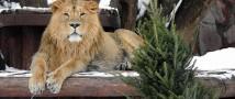 Московский зоопарк запускает традиционную новогоднюю акцию по сбору ёлок и сосен