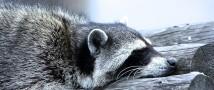В Московском зоопарке на зиму заснули еноты
