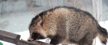 В Московском зоопарке ушла в зимнюю спячку енотовидная собака