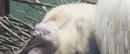 В Московском зоопарке вылупился птенец кудрявого пеликана
